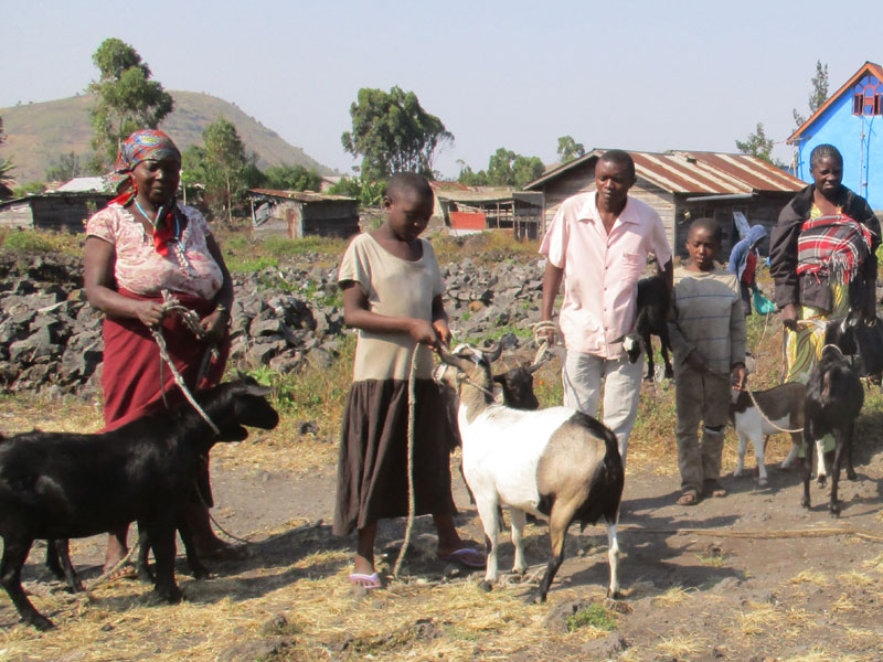 Soutien au petit élevage à Goma, don de chèvres aux familles vulnérables de Mugunga en RD du Congo