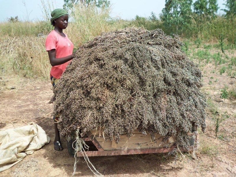 Récolte de sorgho à Guiè au Burkina Faso