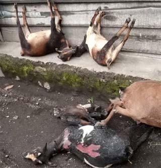 Troupeau de chèvres décimé par les émanations de gaz lors de l'éruption du volcan Nyiragongo